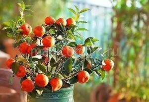 Декоративно-плодовые
